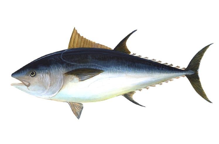 tuna-69317_960_720